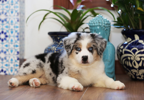 Mini Australian Shepherd Puppies Miniature Aussies Arizona