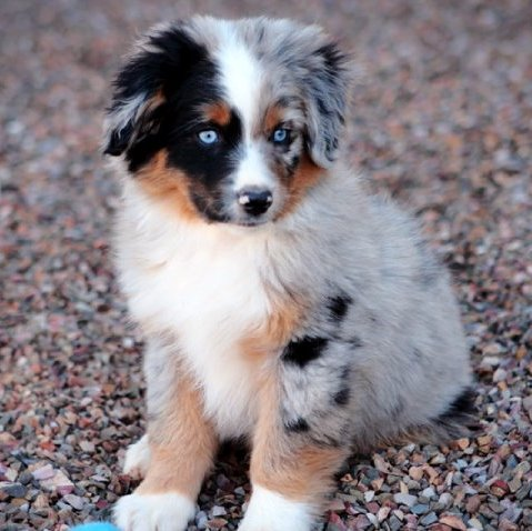 miniature australian shepherd puppies mini aussies available