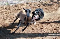 A Kings Castle's mini aussie herding