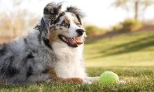 A Kings Castle's blue merle australian shepherd