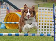 A Kings Castle Red Tri Aussie in agility